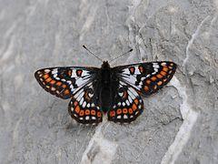 Veilchen-Scheckenfalter ♂ Euphydryas cynthia 3.JPG