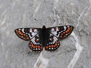 Veilchen-Scheckenfalter (Euphydryas cynthia) ♂