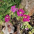 Verbena obsession cascade pink 094447.jpg