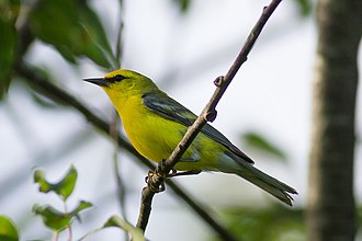 Blue-winged warbler - Adult male in Maine, United States