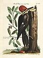Verzameling van uitlandsche en zeldzaame vogelen (Tab. XXXIV) (7894173642).jpg