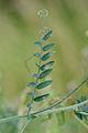 Vicia cracca leaf, vogelwikke blad (2), Lunteren.jpg