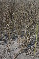 Vicia faba plant (07).jpg