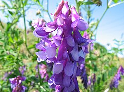 Vicia villosa bluete.jpeg
