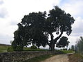 Vieux chêne vert (Quercus ilex) à Cherves-Richemont, Charente, France - 20090419.jpg