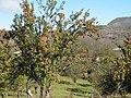 Vil. Nikortsminda apple orchard - panoramio.jpg