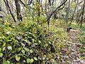 Vincetoxicum rossicum SCA-05087.jpg