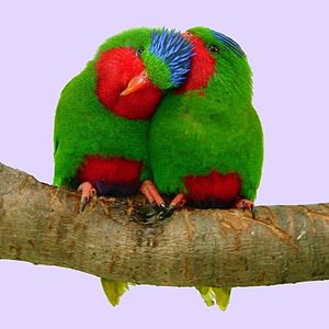 Blue-crowned lorikeet