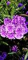 Violet flower photographs by Trisorn Triboon.JPG