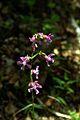 Viscaria vulgaris PID1272-1.jpg