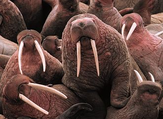 Walrus - Young male Pacific walruses on Cape Pierce in Alaska. Note the variation in the curvature and orientation of the tusks and the bumpy skin (bosses), typical of males.