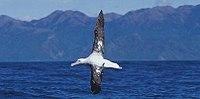 Wandering Albatross (van Poppel).jpg
