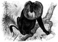 Wanderu macacus-silenus.png