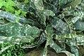 Washingtonia filifera 3zz.jpg