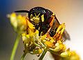 Wasp August 2007-9.jpg