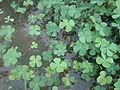 Water hyacinth small weeds kambalakonda Visakhapatnam.jpg