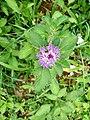Wayanadan-random-flowers IMG 20180524 152556 HDR (41475250555).jpg