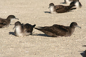 Wedge-tailed shearwater - The pale morph and dark morphs side by side.