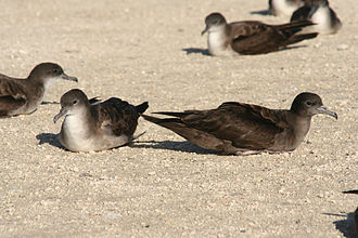 Capricornia Cays National Park - The Capricornia Cays support a breeding population of over half a million breeding pairs of wedge-tailed shearwaters