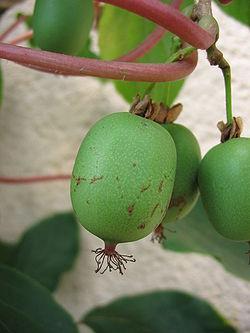 Семена Актини́дия о́страя -34C (actinidia arguta)