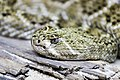 Western Diamond-back Rattlesnake at Singapore Zoo (18387307414).jpg