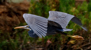 Western reef heron - Dark morph schistacea (Krishna Wildlife Sanctuary) showing extent of yellow on the feet