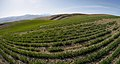 Wheatfield on Badger Mountain Douglas County Washington.jpg