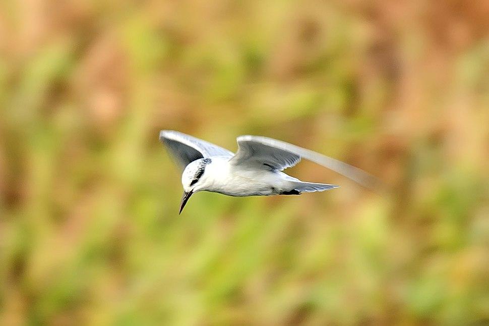 Whiskered tern flying
