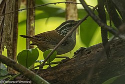 White-breasted Wood-Wren - Nusagandi - Panama (48444480237).jpg