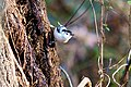 White-breasted nuthatch (18991994578).jpg