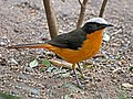 White-crowned Robin-chat RWD5.jpg