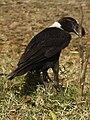 White-necked Raven Corvus albicollis Tanzania 3879 cropped Nevit.jpg