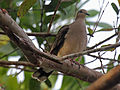 White-tipped Dove RWD3.jpg