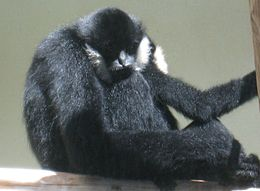 White Cheeked Gibbon Male.jpg