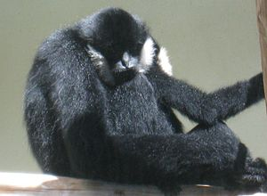 Black crested gibbon - Image: White Cheeked Gibbon Male