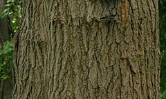 White Mulberry Morus alba Bark.jpg