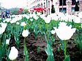 White tulips, Northern avenue, Yerevan (1).jpg