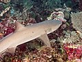 Whitetip reef shark (Triaenodon obesus) (28655530807).jpg