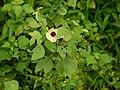 Wild Hibiscus (6213138035).jpg