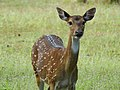 WilpattuNationalPark - February 2018 - Sri Lankan axis deer (1).jpg