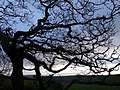 Winter branches - geograph.org.uk - 1623191.jpg