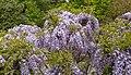 Wisteria sinensis, Christchurch Botanic Gardens, Canterbury, New Zealand 25.jpg