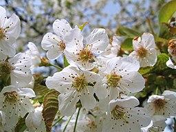 Witzenhausen kirschenerlebnispfad kirschblute am baumhaus ds wv 04 2010