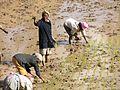 Women planting rice (6058888609).jpg