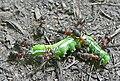 Wood Ants - formica rufa - geograph.org.uk - 1381268.jpg