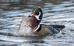 Wood duck in Central Park (22262).jpg