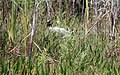 Wood stork, Big Cypress National Preserve, Florida. - panoramio.jpg