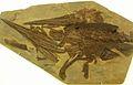 Xiphiorhynchus sp.JPG