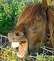 Yawning horse, Scotland.jpg