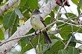 Yellow-bellied Elaenia (Elaenia flavogaster) (7264643310).jpg